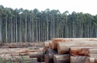 plantaciones-eucaliptus